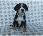 Puppy 1 Greater Swiss Mountain Dog