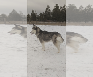 Siberian Husky Dog for Adoption in GARWOOD, Idaho USA