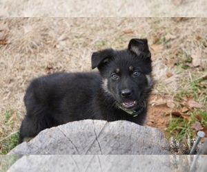 German Shepherd Dog Puppy for Sale in NOBLE, Oklahoma USA
