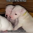 Small Photo #59 Dogo Argentino Puppy For Sale in PINEVILLE, MO, USA