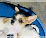 Puppy 0 Chorkie