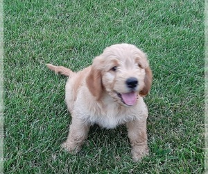 Goldendoodle Puppy for sale in VAN WERT, OH, USA