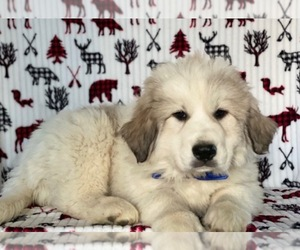 Great Pyrenees Puppy for sale in LANCASTER, PA, USA