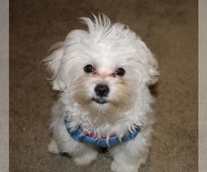 Maltese Puppy for Sale in KANSAS CITY, Missouri USA