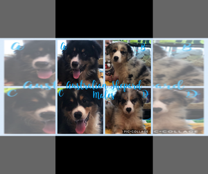 Australian Shepherd Puppy for Sale in LAKE CITY, Florida USA