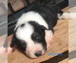 Small #4 Australian Shepherd