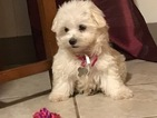 Havanese Puppy For Sale in VENTURA, CA, USA