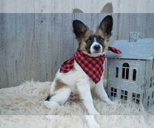 Papillon Puppy for sale in HONEY BROOK, PA, USA