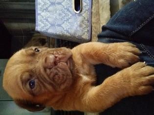 Dogue de Bordeaux Puppy for sale in LAKELAND, FL, USA