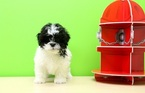 Poodle (Toy)-Shih Tzu Mix Puppy For Sale in PORTSMOUTH, OH