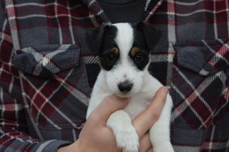 Jack Russell Terrier Puppy For Sale in AMMON, ID, USA