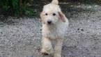 Labradoodle Puppy For Sale in TINGLEY, IA,