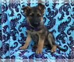 German Shepherd Dog Puppy For Sale near 17536, Kirkwood, PA, USA