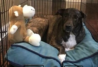 Bull Terrier-Whippet Mix Dog For Adoption in JACKSONVILLE, FL, USA