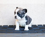 Small Photo #8 French Bulldog Puppy For Sale in HESPERIA, CA, USA