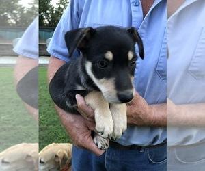 Australian Kelpie Puppy for sale in GREENVILLE, NC, USA