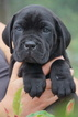 Champion Bloodlines Cane Corso Puppies