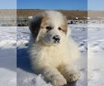 Puppy 2 Great Pyrenees