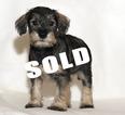 Puppy 2 Schnoodle (Miniature)