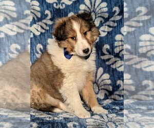 Shetland Sheepdog Puppy for sale in LANCASTER, PA, USA