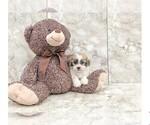 Zee The Teddy Bear Puppy