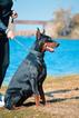 Doberman Pinscher Puppy For Sale in Maglic, Vojvodina,