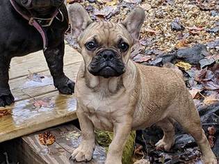 French Bulldog Puppy for Sale in HENRICO, Virginia USA