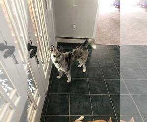 Australian Shepherd-Siberian Husky Mix Dog for Adoption in E BROOKFIELD, Massachusetts USA