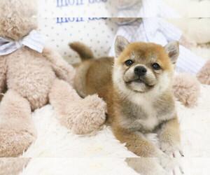 Shiba Inu Puppy for sale in HILO, HI, USA