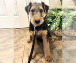 Puppy 2 Airedale Terrier