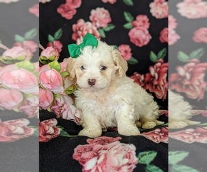 Shih-Poo Puppy for sale in LINCOLN UNIV, PA, USA