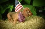 Dachshund Puppy For Sale in BRONSON, FL, USA