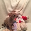 Chihuahua Puppy For Sale in KNIGHTSVILLE, SC, USA