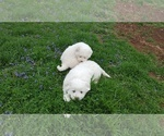 Small Great Pyrenees