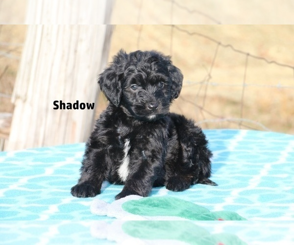 Medium Photo #7 Aussiedoodle Puppy For Sale in UNION CITY, TN, USA