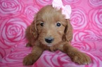 Goldendoodle (Miniature) Puppy For Sale in EAST EARL, PA, USA
