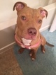 American Pit Bull Terrier Puppy For Sale in COLUMBUS, OH,