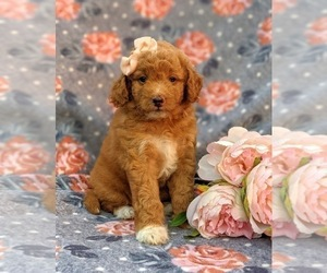 Labradoodle-Poodle (Miniature) Mix Puppy for sale in KIRKWOOD, PA, USA