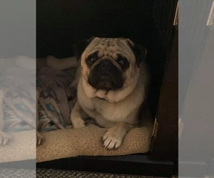 Father of the Pug puppies born on 09/03/2020