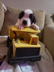 Saint Bernard Puppy For Sale in MINNETRISTA, MN, USA