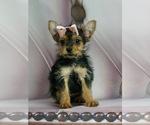 Puppy 13 Yorkshire Terrier