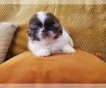 Small #1 Pekingese