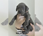 Small #9 Great Dane