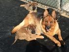 German Shepherd Dog Puppy For Sale in GAP, PA