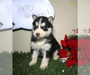 Siberian Husky Puppy for sale in MECHANICSVILLE, VA, USA
