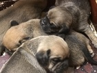 Puggle Puppy For Sale in SOUTH EASTON, MA, USA