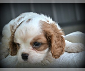 Cavalier King Charles Spaniel Puppy for sale in NILES, MI, USA