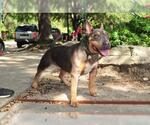 Small #813 Bull Terrier Mix