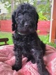 Labradoodle Puppy For Sale in NEW HAVEN, CT