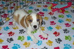 Beagle Puppy For Sale in TUCSON, AZ,